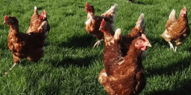 A Farm's 6,000 healthy hens will be slaughtered if they aren't adopted before Christmas