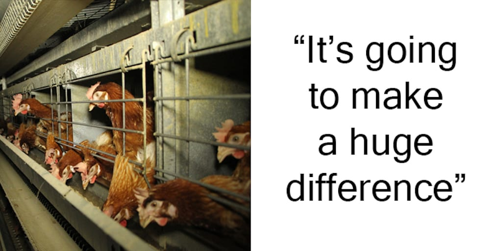 BREAKING-Battery-Hens-Will-Be-Cage-Free-In-California-Thanks-To-'Strongest-Animal-Protection-Legislation-In-The-World'-Prop-12