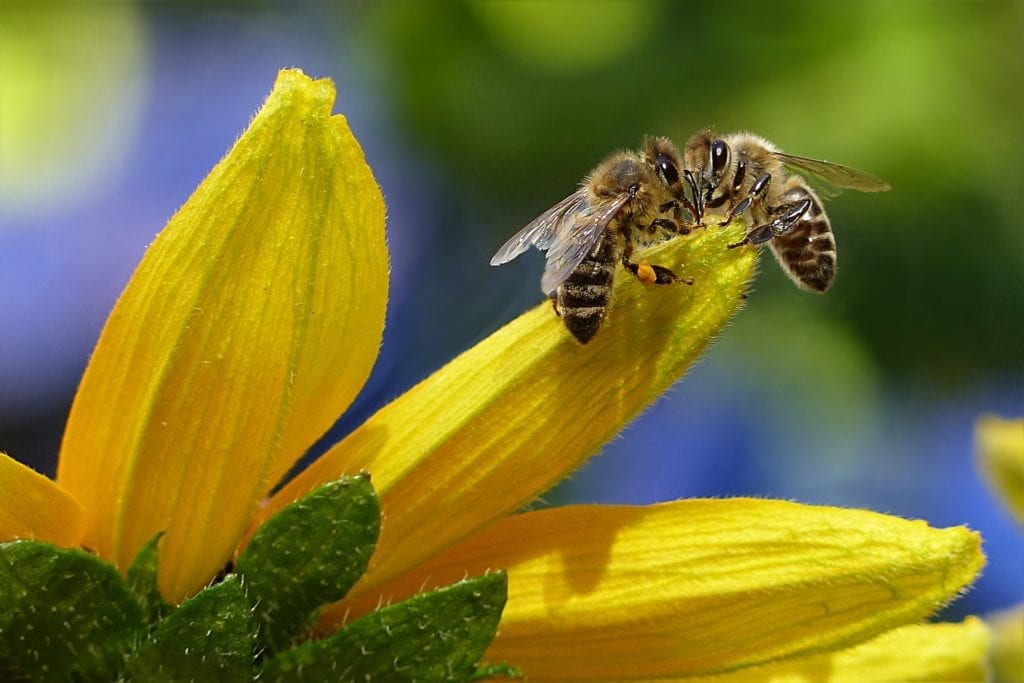 Two honey bees extracting nectar from yellow flower.