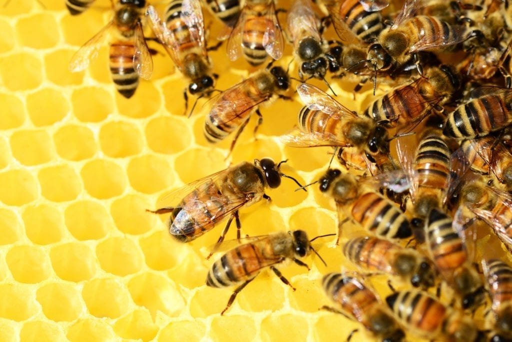 Honey bees on a beehive.