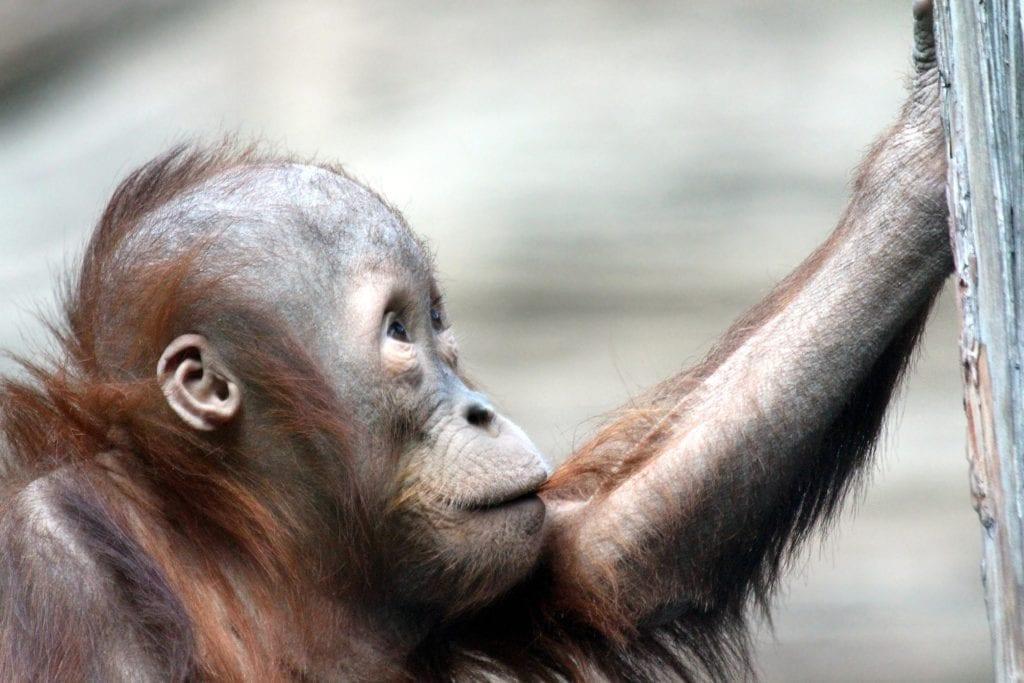 A side faced orangutan found in tropical areas