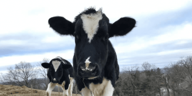 Pregnant Cow Escapes Slaughterhouse Truck, Starts New Life, Gives Birth, Is Adorable