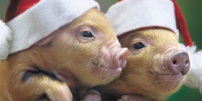 Unbearably Cute Animals Wearing Christmas Hats Should Stop Anyone Eating Meat This Christmas
