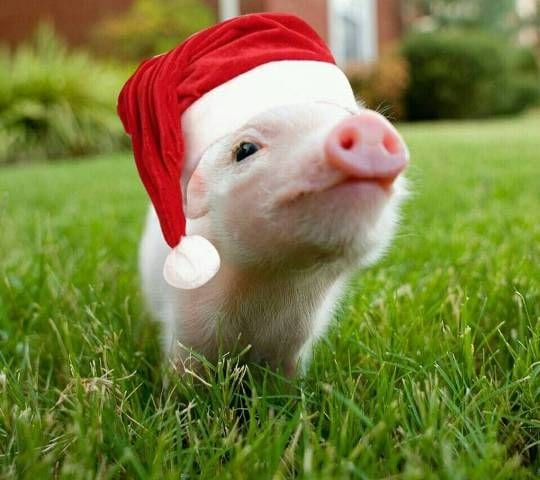 These 20+ unbearably cute animals wearing Christmas hats should stop anyone eating meat this Christmas