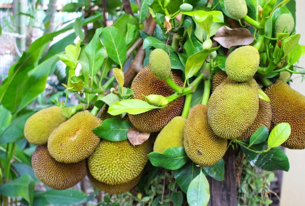 Multiple jackfruits hanging from the tree.