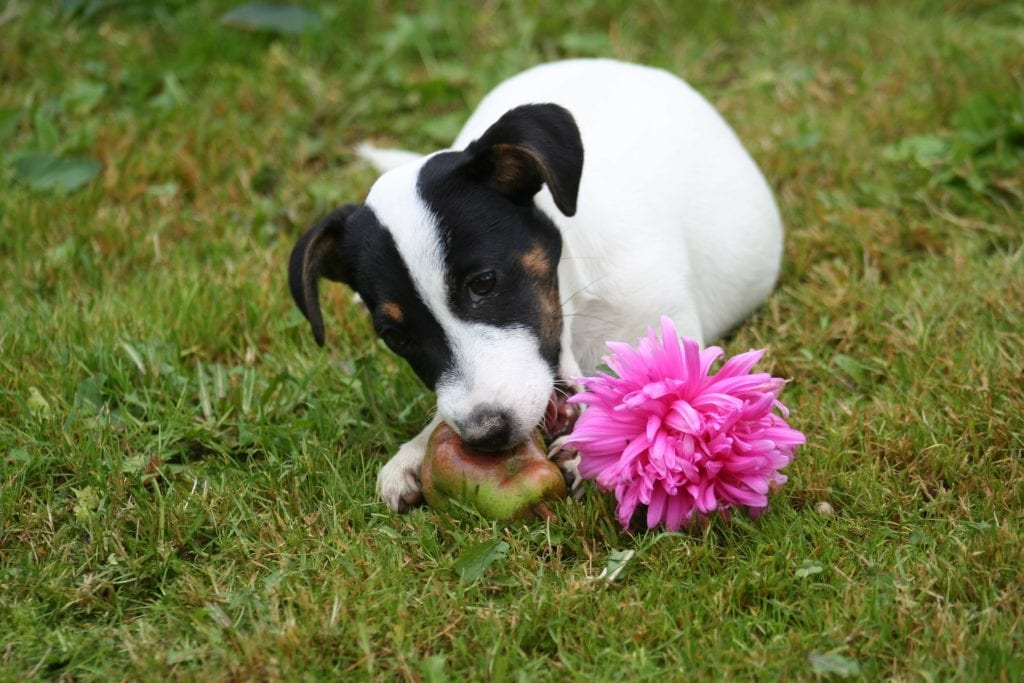 A small havko terrier dog eating fruit in a garden
