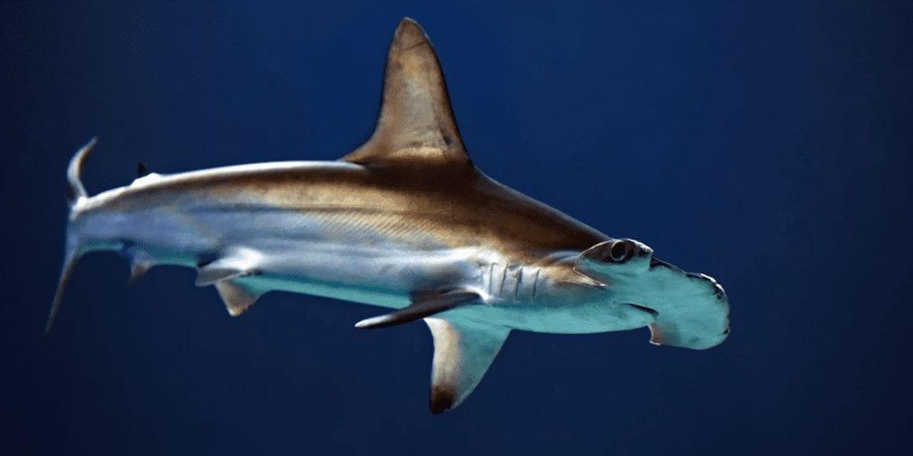 Endangered shark meat sold at UK fish and chip shops, DNA tests reveal