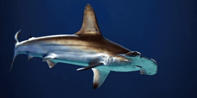 Endangered shark meat sold at UK fish and chip shops, DNA tests reveal