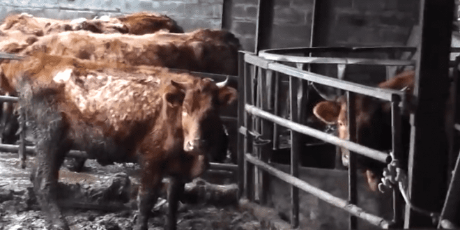 Farmers spared jail despite inspectors discovering rotting carcasses beside starving cows