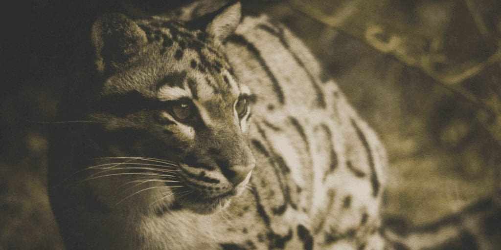 'Multiple Sightings' Reported Of An Officially Extinct Clouded Leopard Species