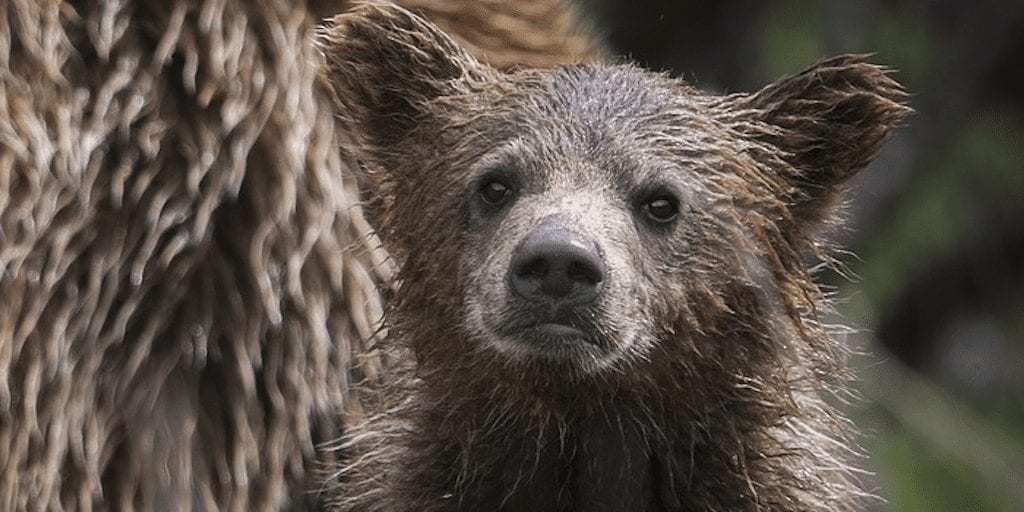 Activist jailed for freeing bear cub from a trap