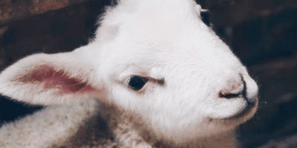 Farm invites children to play with baby lambs right next to their slaughterhouse