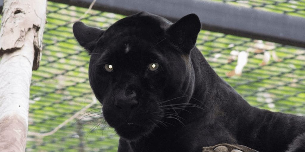 Jaguar 'attacks' woman who crosses zoo barrier to take selfie