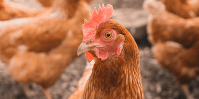 281 Tonnes Of Antibiotics Were Used On UK Chicken Farms In Just One Year