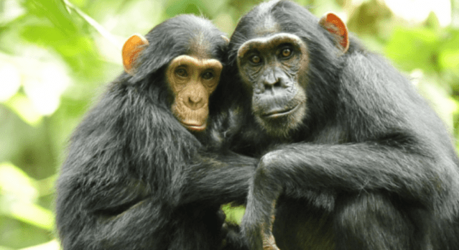 Chimpanzee meat is being eaten across the UK