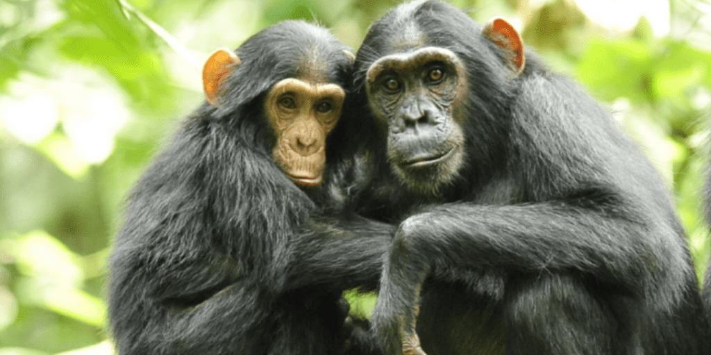 Chimpanzee meat is being eaten across the UK