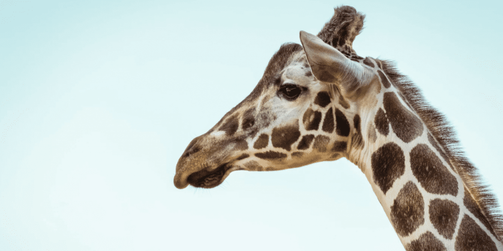 Giraffes Set To Be Listed As An Endangered Species