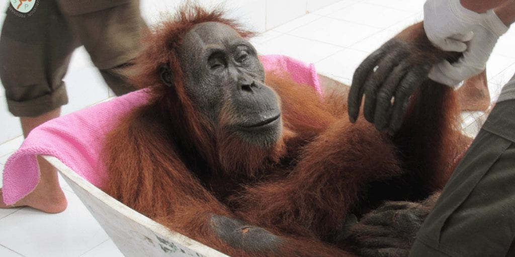 Rescuers found an orangutan with 74 gunshot wounds, but they couldn't save her baby