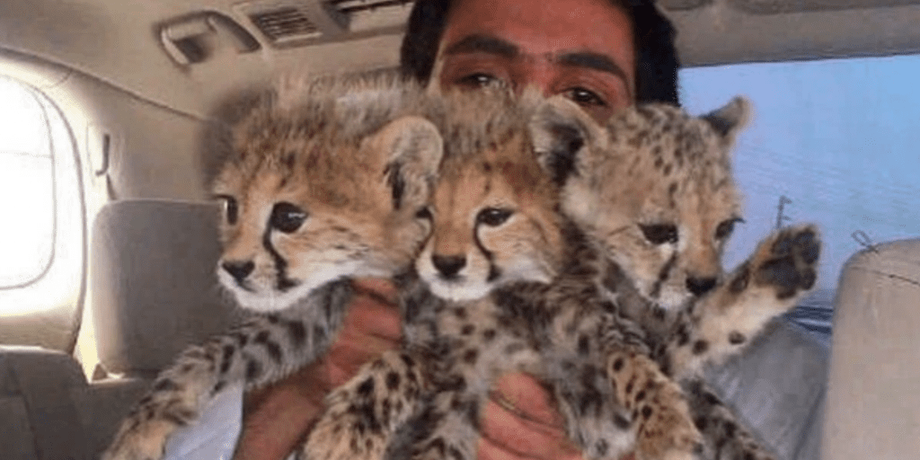 A-Ridiculous-Big-Cat-Selfie-Craze-Is-Driving-Cheetahs-To-The-'Brink-Of-Extinction'