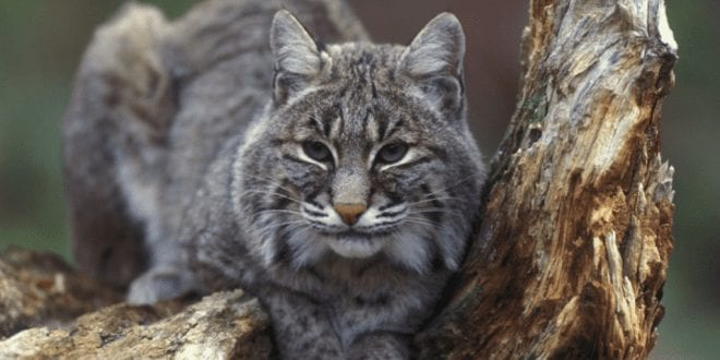 Colorado-Rejects-Ban-On-Bobcat-Hunting-Despite-Huge-Spike-In-Animals-Being-Killed-For-Asian-Coat-Makers