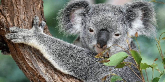 Koalas Declared 'Functionally Extinct' After Numbers Fall Below A Sustainable Level