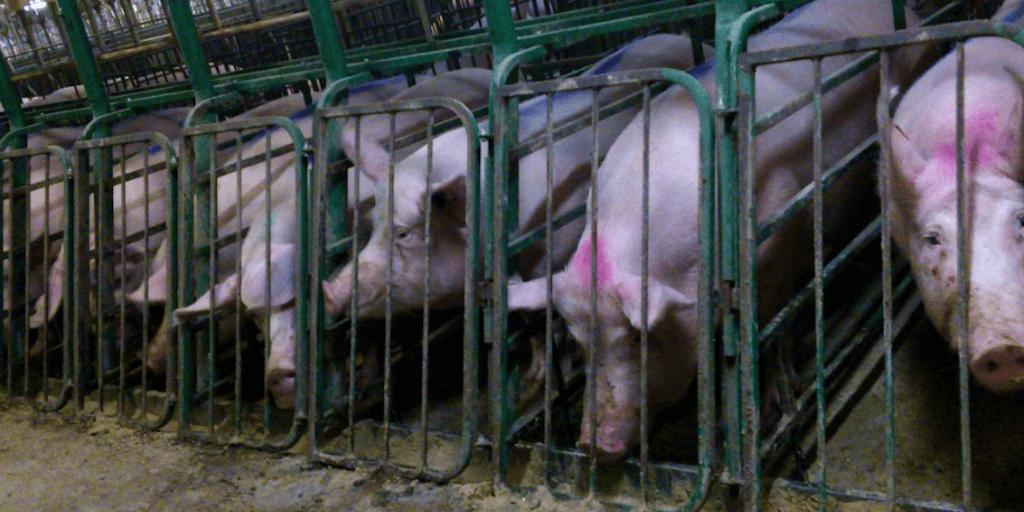 Meat industry braces itself