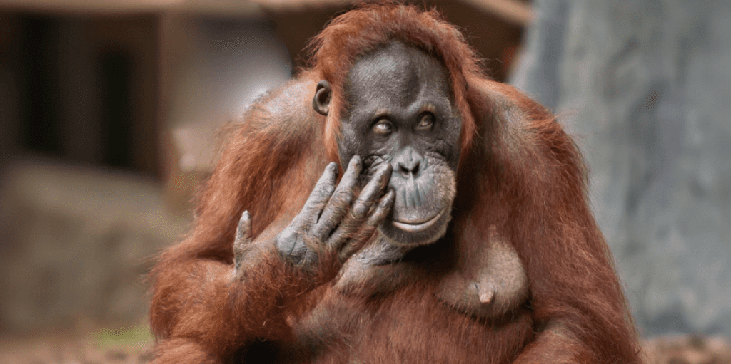 Orangutans-Face-Extinction-Within-A-Decade-If-No-Action-Is-Taken