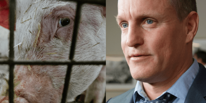 Woody Harrelson demands end to 'cruel' Texas pig rodeo where contestants torment terrified pigs