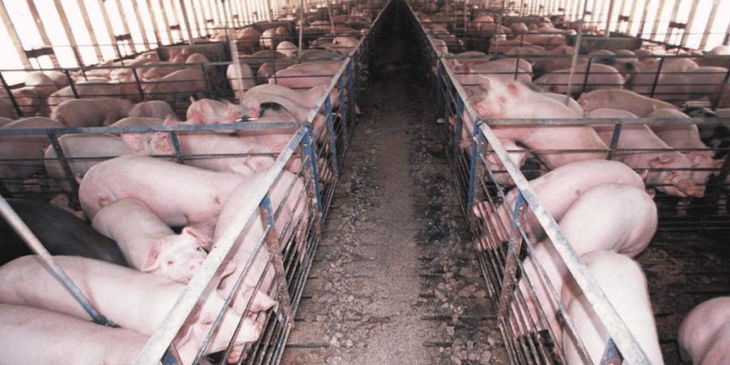 1 MILLION pigs die in raging swine flu outbreak in China's pork industry