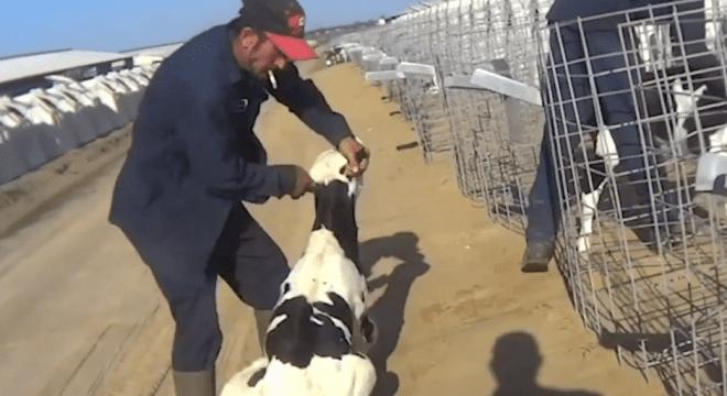 Calves spat on burened beaten