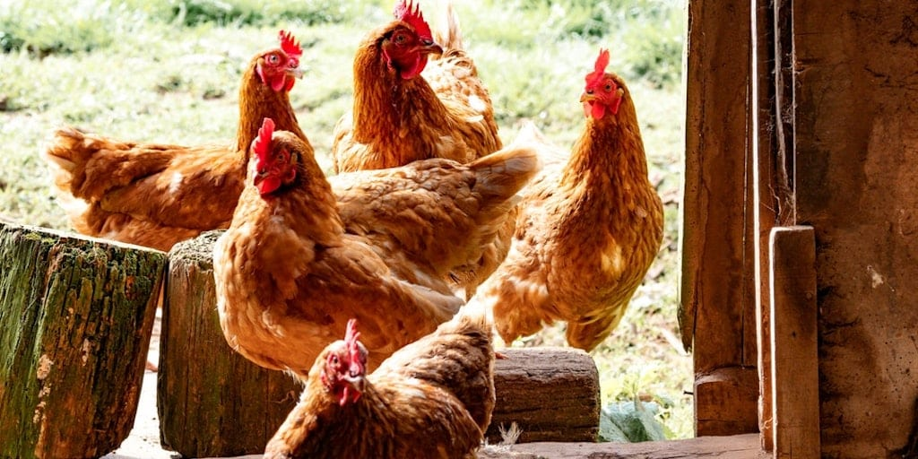 Can you help? Thousands of hens need rehoming or face slaughter