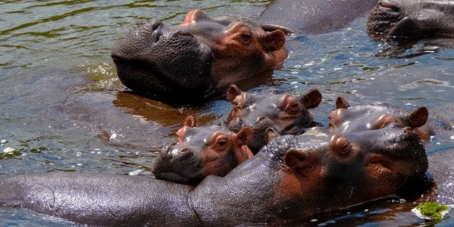 2,000 hippos saved from slaughter by activists in Zambia