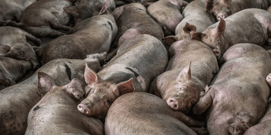 Photojournalist's powerful imagery exposes the brutal Thai pork industry