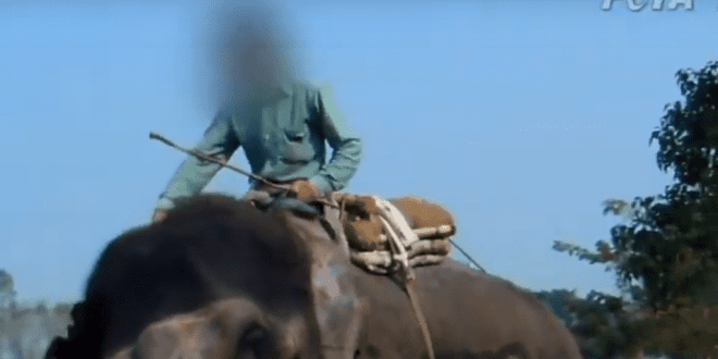Renault and carlsberg cut ties with festival where elephants are beaten bloody