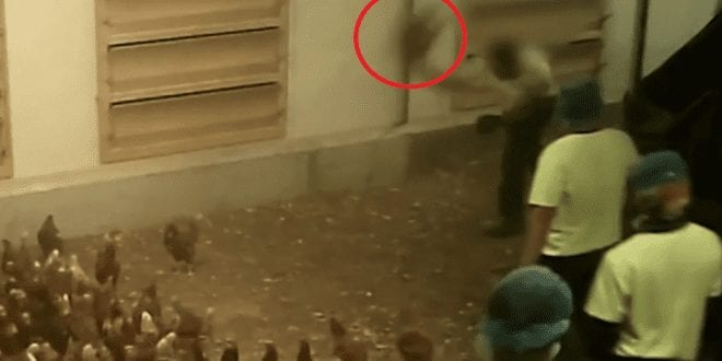 Shocking footage shows workers kicking and throwing hens at Australia's largest egg producer