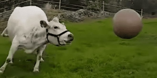 Video of cow playing with a ball proves they're no different from your pet dog