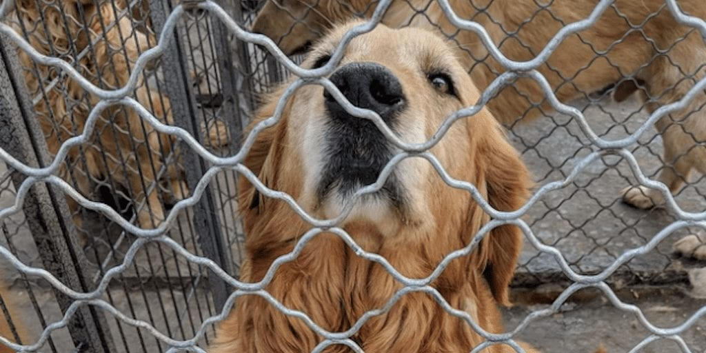 golden retrievers saved from China's dog meat trade