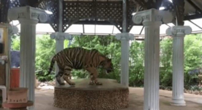 The tiger in Thailand zoo filmed was restricted by a short chain