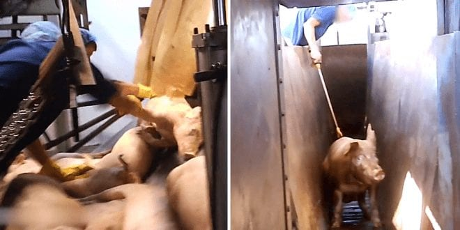 Horrifying slaughterhouse footage depicts pigs beaten with mallets suffering slow, painful deaths