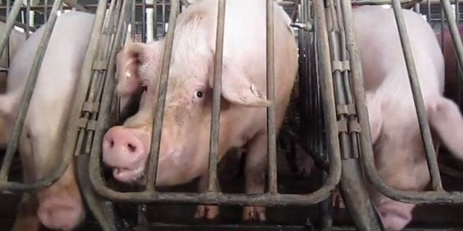 Pork slaughterhouses to increase killing speeds to more than 1,100 pigs per hour