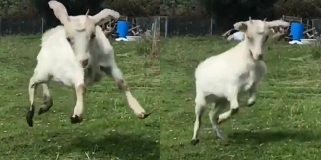 Rescued baby goat freely enjoying its first chance to play in a field