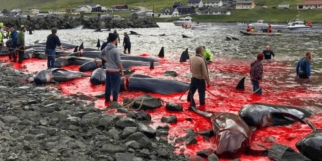 Sea turns blood red as 23 whales massacred in hunt