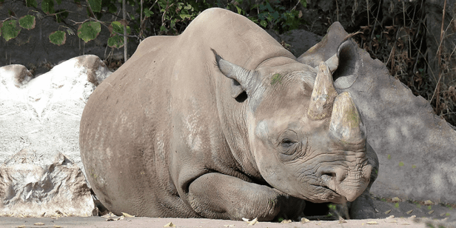 Hunters to be Allowed to Shoot Almost Double the Amount of Black Rhinos in South Africa