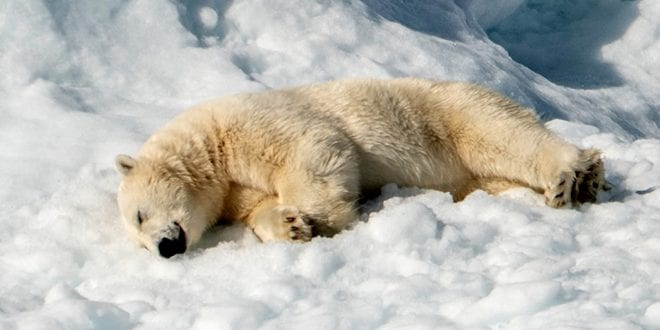 Over 5000 Polar Bears Have Been Killed For Sport