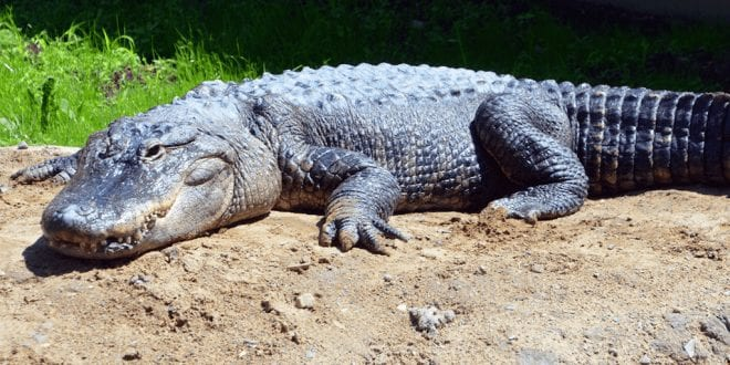 Alligator skin sales banned in California as activists finally defeat exotic skins industry