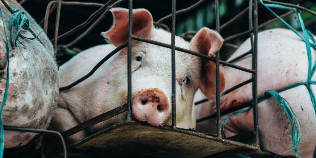 Switzerland considers ban on factory farming