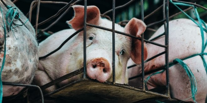 Switzerland considers ban on factory farming