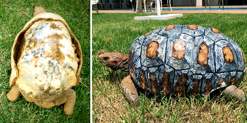 Tortoise injured in Amazon fires given 3D printed replacement shell