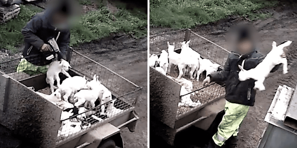 Disturbing footage shows farmer shooting newborn goats in the head and dumping them in a bin