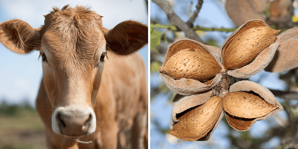 Cow farmers switch to growing almonds You're better off putting your money into trees … almonds, pistachios, grapes